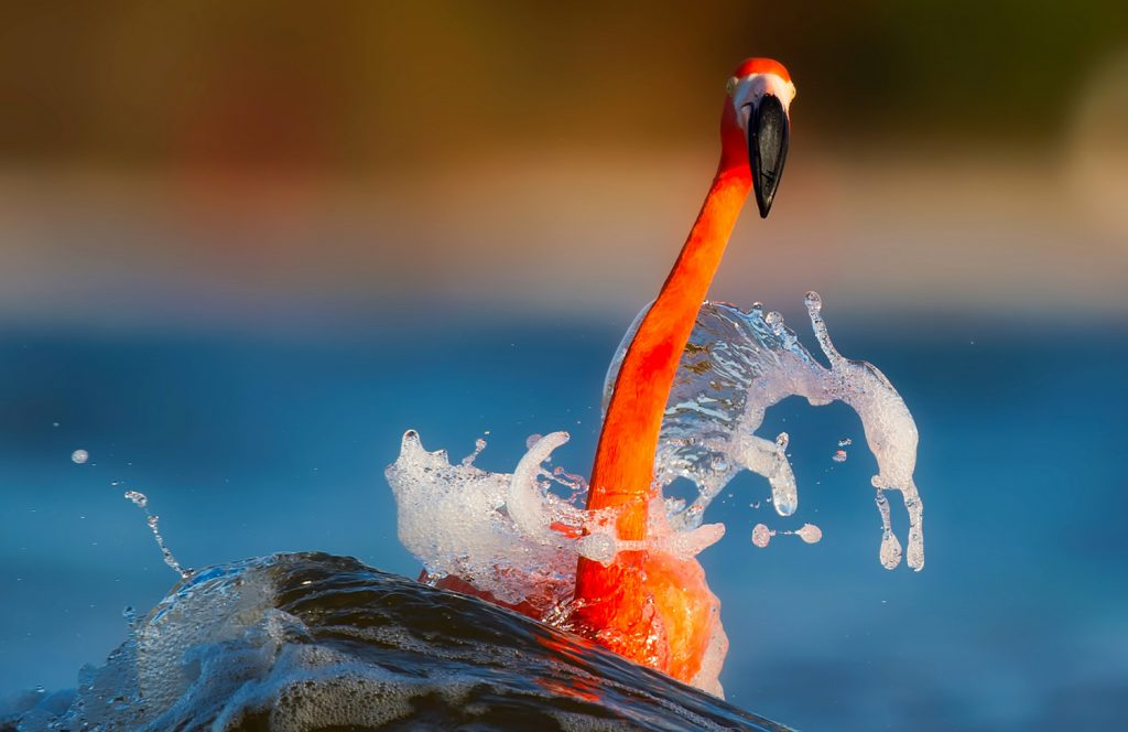 Communicating in color -Orange bird on blue water