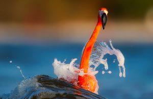 Orange bird on blue water