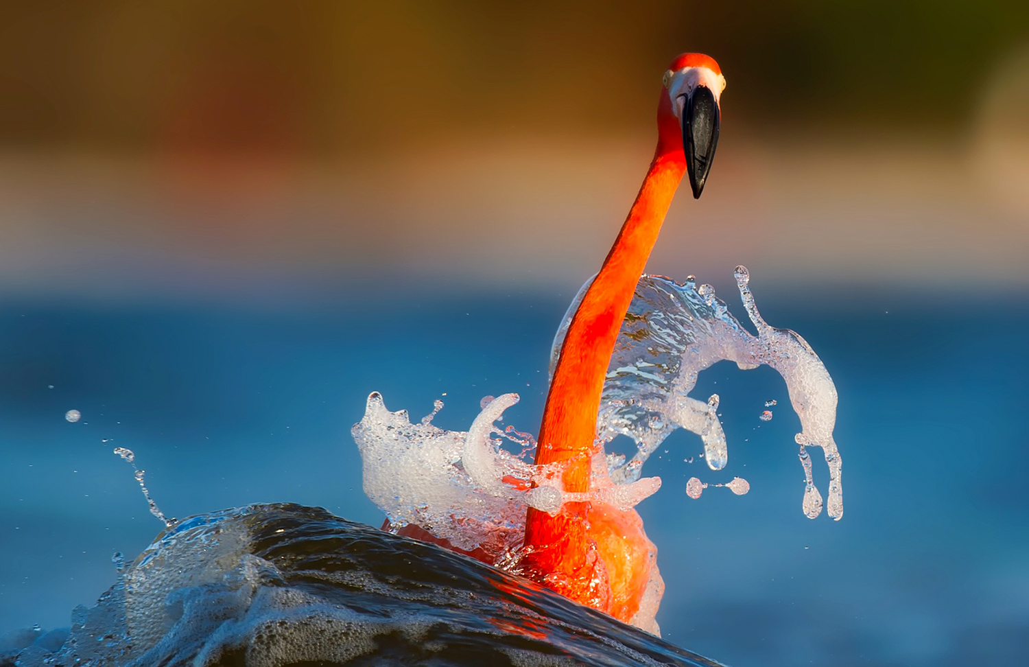Orange bird on blue water